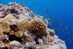 Anthias on the reef using NikonD80 + Sigma 15mm + Magic F... by Wendy Capili 